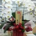 立派な胡蝶蘭が届きました!/「D2C」10周年